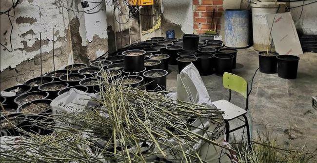 La Policía Nacional destapa una plantación de marihuana con 423 plantas en fase de crecimiento