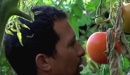 La UAL investiga cómo lograr tomates más gruesos