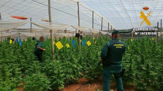 Localizadas 4000 plantas de marihuana en cuatro invernaderos de El Ejido