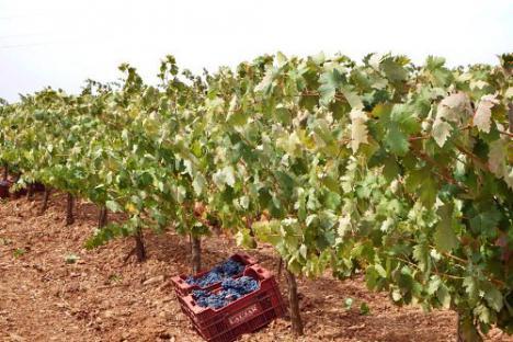 La cosecha de uva cae un 20% en Almería aunque con una calidad
